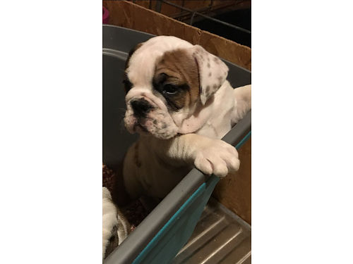English Bulldog Pups AKC Champion and UGA Bloodlines 2200Each Ready to Go Like Us on Facebook Man