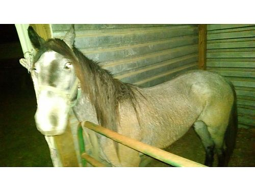 HORSE 4yr old McCurdy mare halter trained needs training sire pictured at Iwantanet 1200 obo