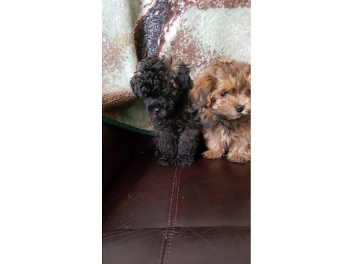 YORKIE POO PUPPIES 8wk old male  female shots dewormed 500ea