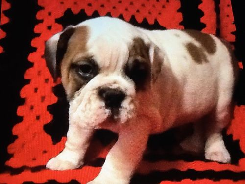 Manuel Ranch Bulldogs UGA and Champion Bloodlines English Bulldog Pups AKC UTD All Shots 2200Each