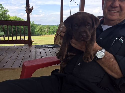 LAB puppies akc registered choc in color available 429 1st set of sw 3 females 1 male 850ea