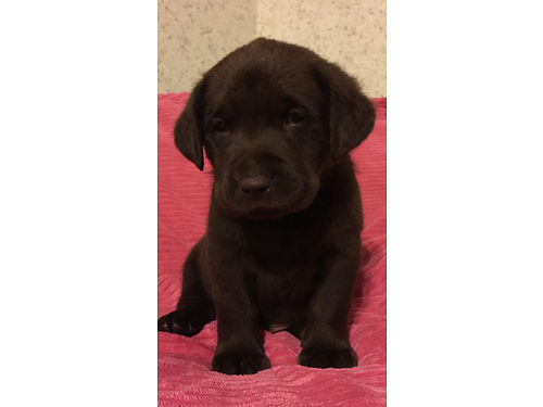 AKC Labrador Retriever English Blockhead Pups Chocolate  Yellow Championship Bloodline Limited Regi