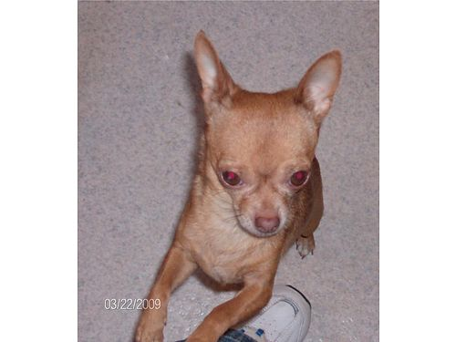 LOST Chihuahua dog goes by the name  RAVEN  16 years old Lost in the Glenn Hills area Brown wg