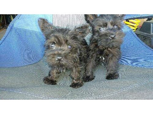 SCHNAUZER PUPPIES 5wks old 3 male 1 female all shots 500ea