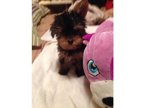 YORKIE PUPPIES pure breed born march 8th UTD sw raised indoors 1 female 1 male tails docked