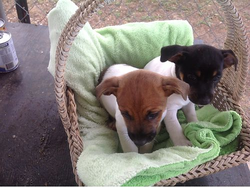RAT TERRIER puppies CKC registered shots dewormed vet checked tails docked 7wks 250ea