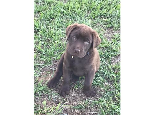 LAB PUPPIES AKC REGISTERED, CHOC IN COLOR, ...