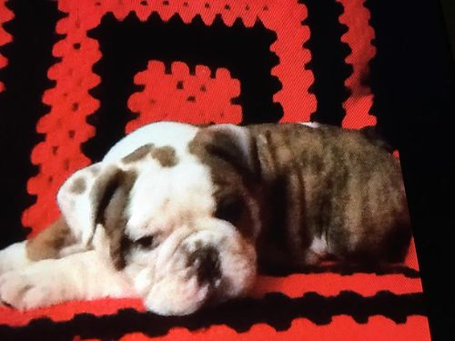 English Bulldog Pup AKC Male SW UGA Bloodline Brindle Heart on Back Vet Checked 2200 706-829-
