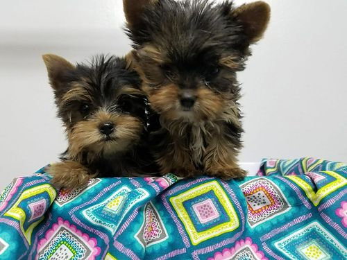 Yorkie Pups CKC Males and Females Will be Small Parti and Traditional Colors 800-1000 803-221-6