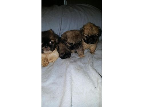 PEKINGNESE PUPPIES all colors some white purebred 400ea