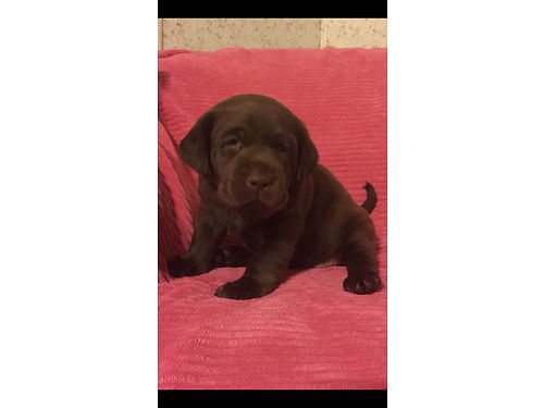 AKC Labrador Retriever English Blockhead Pups Chocolate Championship Bloodline Limited Registration