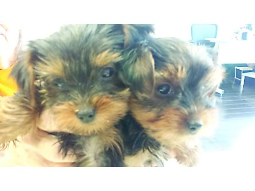 YORKIE PUPPIES purebred born 43017 1 female 1 male will be very tiny will have all sw 1000