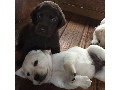 LAB puppies akc born 713 1 chocolate male 850 yellowwhite males  females available after 6w