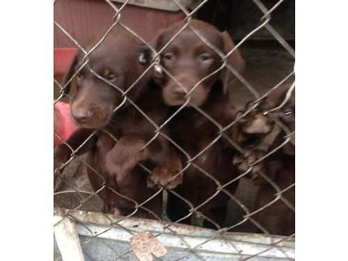 CHOCOLATE LAB PUPS born 6717 sw call or text for info