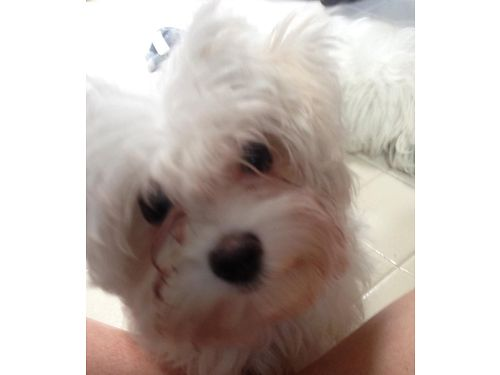 MALTESE PUPS 5917 sw born and raised indoors will make wonderful addition to your family crate