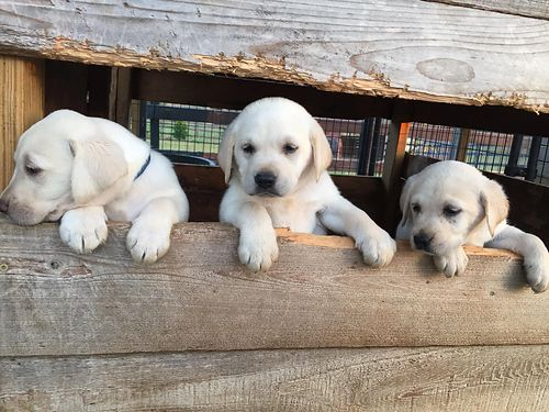 LAB puppies akc born 713 yellowwhite males  females first shots  worms re