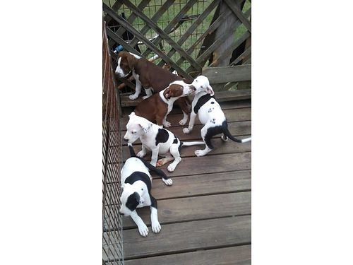 PITBULL TERRIERS red nosed 4 females 1 male parents on site 12 wks old first sw 100ea