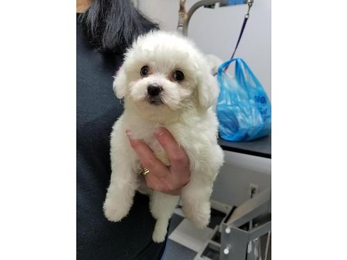 Maltichon Pups Maltese  Bichon CKC Reg All White UTD Shots Males and Females 550 803-221-6115 803
