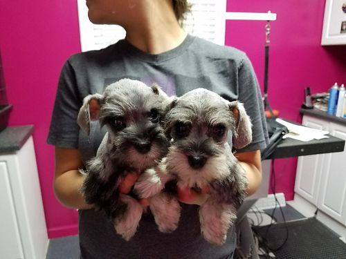 Mini Schnauzers CKC Reg Males and Females Salt and Pepper Will Be Small 600-650 803-221-6115 80