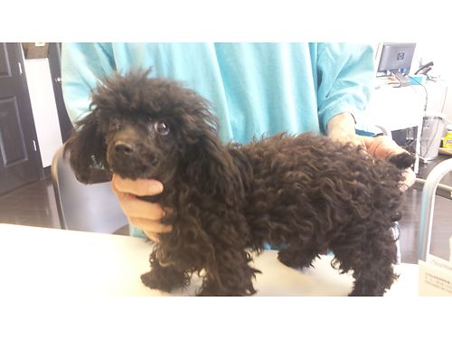 POODLE PUP 1 male black 5 months old utd sw 650 for more photos search 2980121  Iwantanet Cal