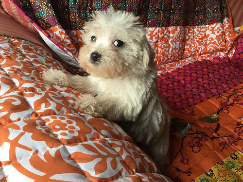 Toy Schnoodles Male Females Many Colors Available Now karenphillisyahoocom 803-646-8606