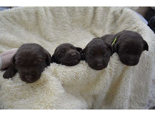 LABRADOR CHOCOLATE PUPPIES akc reg born 11-22-17 taking deposit now great for hunting  family pet