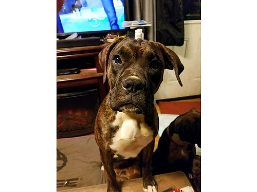 BOXERS AKC 9 months old 2 females only reverse brindle colorings microchipped have shots and wo