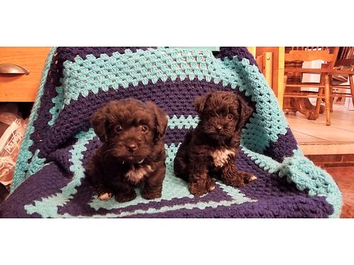 YORKIE POO PUPPIES 7wks old sw 2 male 2 female 500 for more photos search 2982623  Iwantanet