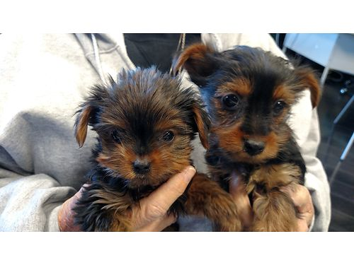 YORKIE PUPPIES born 112217 purebred 2 females will be tiny up date shots ckc registered 2500