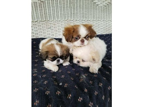 PEKINGNESE PUPPIES pure bred females 9 weeks 450 for photos search 2988593 on wwwiwantanet