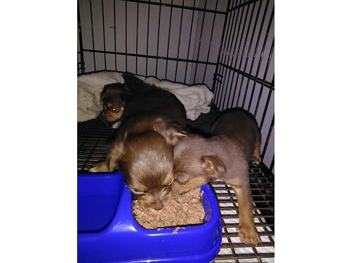 We Have Small Puppies Chinese Crested- Chihuahuas Long  Short Shots Dewormed 400ea 803-334-14420