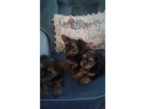 YORKIE beautiful quality males ckc registered utd shots  worms ready for new home 8wks 650 ea