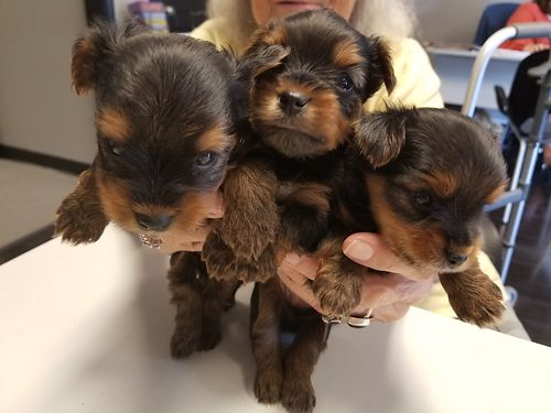 YORKIE PUPS registered born 52718 1 girl 2 boys UTD shots and worming 2500 for more photos sear