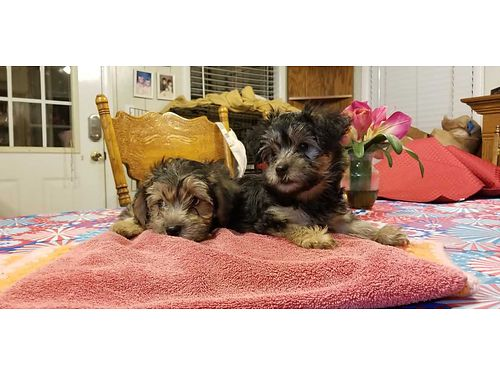 YORKI POO puppies 9wks old 1st shots dewormed vet checked 3 male 1 female 500ea for color phot
