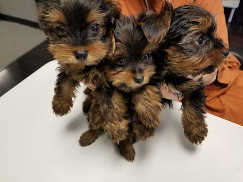 YORKIE PUPS registered born 52718 1 girl 2 boys UTD shots and worming 2500 for more photos sea