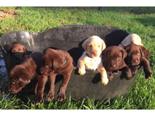 LAB puppies akc chocolate female born 6-27 shots and wormed chocolate females 600 chocolate male
