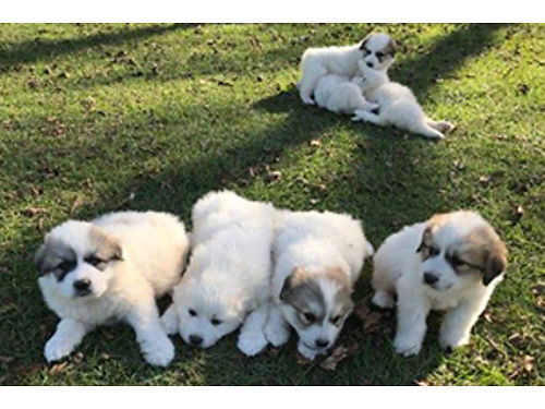 PYRENESE PUPPIES CKC born on 91618 ready 1116 first sw 4males 3 females 4 males and 1 femal