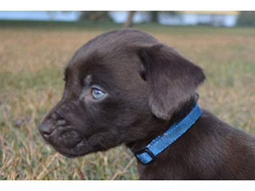 LABRADOR CHOCOLATE PUPPIES AKC registered born 10-05-18 great for retrieving or family dog Have bee
