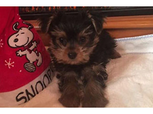 YORKIE PUPS looking for their forever family in time for Christmas tails docked UTD sw born and