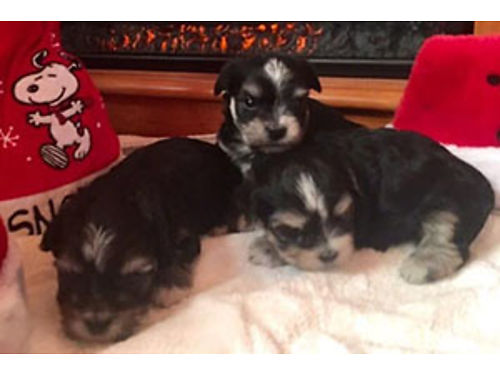 MORKIE PUPS mom is full blooded maltese 5lbs dad is full blooded yorkie 35lbs tails docked takin