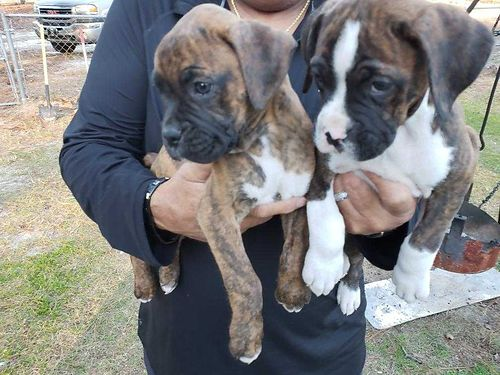 BOXERS full blooded brindle with flashing both parents akc registered 10 weeks old all shots de