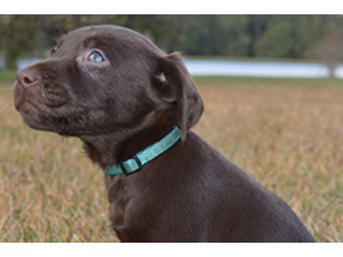 LABRADOR CHOCOLATE PUPPIES 1 female AKC registered born 04-11-19 ready for good homes up to date s