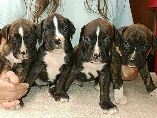 BOXER PUPPIES ready now akc registered both parents on site full pedigree sw tails docked micro