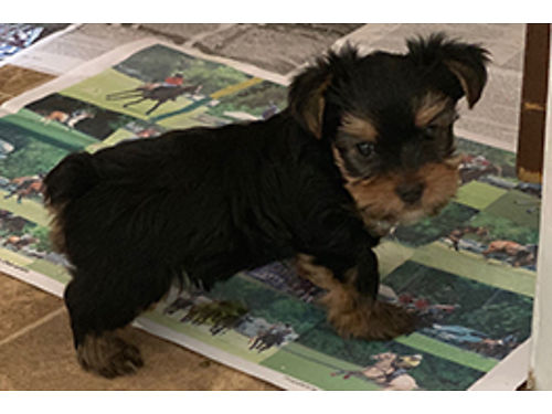 YORKIE PUPS 5 beautiful males ready now UTD on sw born and raised indoors very smart playful a