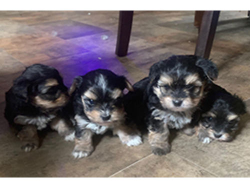 MORKIE PUPS now taking deposits beautiful babies 3 males 1 females utd on sw born and raised i
