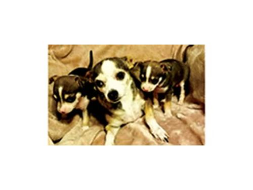 CHIHUAHUA puppies 2 f born Election Day to good homes only 150ea OBO parents onsite with shot
