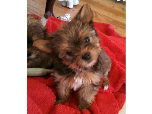 YORKIE LHASA Apso mix DOB 12-2-2016 1 male  2 females 500 each parents onsite small breed Yre