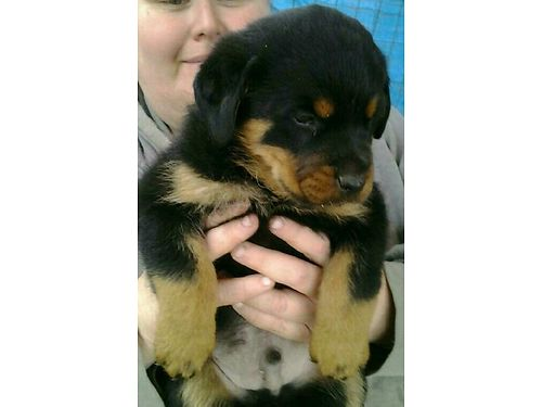 AKC ROTT puppies DOB 9-8-16 2 females parents onsite good bloodlines shots  wormed 500 530-