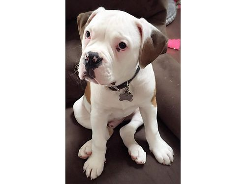 NKC UCA American Bulldog puppies males  females pick a litter with 12 down ready now 1000 ea