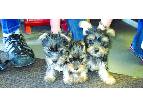CUTE LITTLE Yorkie puppies great lap  family dogs shots  wormed parents onsite males 500 each